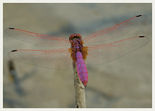 Photo: Purple Dragonfly  Another exercise in patience. These purple dragonflies were easier to photograph. They didn't seem to get 'spooked' and fly away to much.