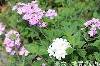 Photo: 拍攝地點: 梅峰-溫帶花卉區 拍攝植物: 美女櫻 拍攝日期:2012_07_24_FY