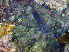 Photo: The Yellowtail Damselfish does not like Wrasses plundering its gardens...