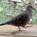 Rolita/ Common Ground Dove