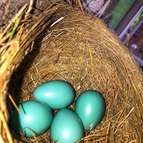 Robin blue eggs by Pamela Hammer - Nature Up Close Hives & Nests ( robins nest, nature, blue eggs, nature up close,  )