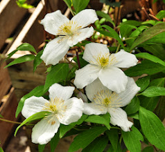 Photo: Clematis montana 'Grandiflora'