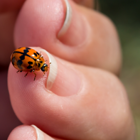Ladybug by Deborah Bisley - Animals Insects & Spiders ( bug, lady beetle, ladybug, insect, close up, orange beetle, beetle, black spots,  )