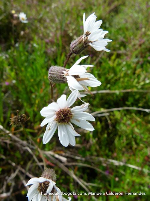 La margarita de pantano especie end mica de los humedales for Jardin botanico bogota nocturno 2016