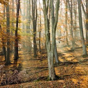 Wienerwald in Autumn by Frederik Schulz - Landscapes Forests ( herbst, wien, vienna, autumn, wald, sunrays, forest, leaves, golden, austria, österreich )