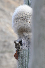 Photo: Sulphur-bellied Flycatcher (Nördlicher Fleckenmaskentyrann); Tolantongo, HGO