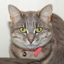 Ava by Kirsten Evans - Animals - Cats Portraits