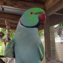 Long-Tailed Indian Ring-Necked Parakeet