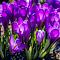 Back Lite Purple Crocuses_.jpg