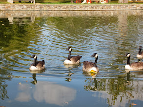 Photo: Canadian geese reflected in a pond at Eastwood Park in Dayton, Ohio.