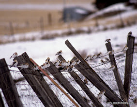 Photo: Snow Buntings resting on a fence in the Wallow Valley