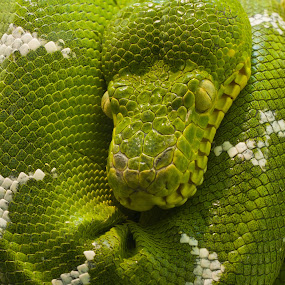 by Rick Lombardo - Animals Reptiles