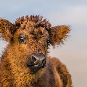 calf by Nigel Bishton - Animals Other Mammals (  )