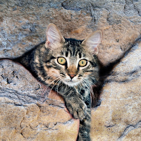 Mischievous Kitty by Diana Gunning - Animals - Cats Kittens (  )