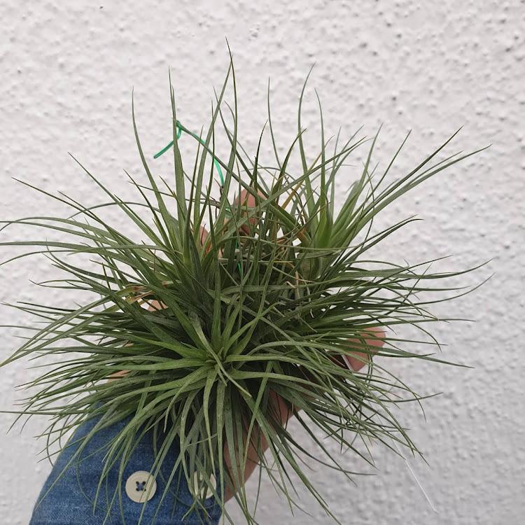 Tillandsia Tenuifolia Bush (L) by AquaticsForevers Enterprise