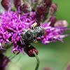 True Melissodes Bee