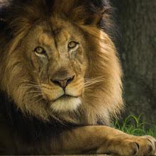 Photo: Face of a Lion