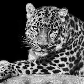 Amur Leopard  by Margie Troyer - Black & White Animals