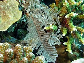 Photo: Тропическая гирлянда Sertularella sp.