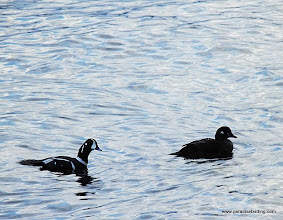 Photo: Harlequin Ducks on Resurrection Bay, near Seward