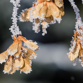 Frosty Whirligigs by Chad Roberts - Nature Up Close Other plants ( leaves, seed, seeds, frost, crystal, maple, frozen, winter, leaf )