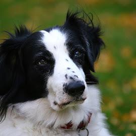 Thinking!! by Chrissie Barrow - Animals - Dogs Portraits ( autumn, pet, white, fur, ears, dog, lurcher, nose, bokeh, black, portrait, eyes )