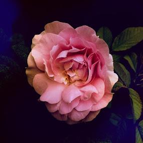 Wild Rose by Barbara Storey - Flowers Single Flower ( rose, nature, vivid, summer, pink, garden, flower,  )