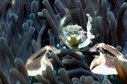 Photo: Crabe Porcelaine aux Mergui. Photo de Michel EDME