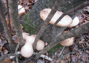 Photo: Birch Polypore