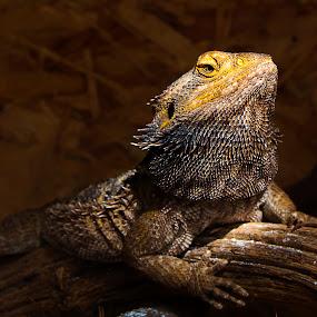 Lizard by Boris Podlipnik - Animals Reptiles ( lizard, reptile, light, sun, animal,  )
