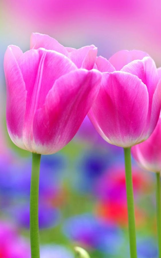 HD Pink Tulips Live Wallpaper Screenshot