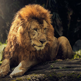by Dharman Multimedia - Animals Lions, Tigers & Big Cats