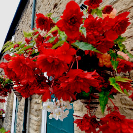 by Victoria Eversole - Flowers Flower Gardens ( village life, english midlands, red flowers, hanging flower baskets )