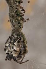 Photo: Spider looking after her offspring; Aranha tomando conta da sua prole.
