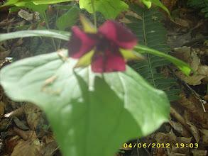 Photo: Vasey's Trillium