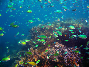 Photo: school of black-axil chromis