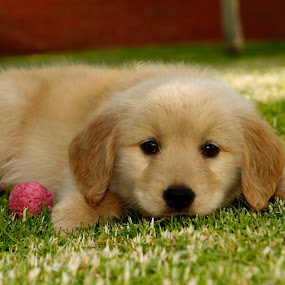 Robin by Cristobal Garciaferro Rubio - Animals - Dogs Puppies ( puppies, lovely, dog, cute, golden, golden retriever )