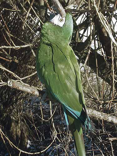 Approximately 1 year later, the bird in Fig 6.53a has been guided by Jan Hooimeijer into the specimen seen here