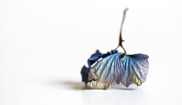 <p> Dead Hydrangea Blossom</p>