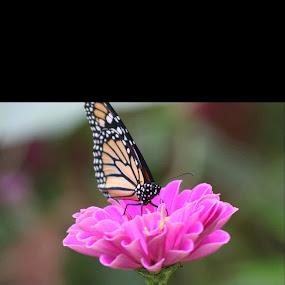 Butterfly on flower by Logan Williams - Flowers Single Flower ( butterfly on flower,  )