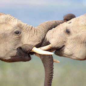 Nose 2 Nose by Neal Cooper - Animals Other Mammals ( elephants, kiss, trunk, trunks, neal cooper )