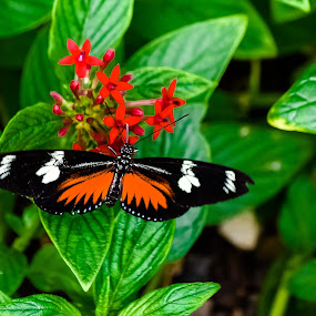 Butterfly Feeding by Robert Smith - Animals Insects & Spiders ( orange, butterfly, red, flowers, small, black,  )