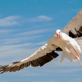 Stork incoming by Massimo Mazzasogni - Animals Birds ( bird, flight, stork, nature, fly, wings, beak, feathers, birds, eyes )