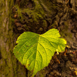 A single leaf by Carol Henson - Nature Up Close Leaves & Grasses ( eos m, bark, tree, nature up close, autumn, leaf, people's park )
