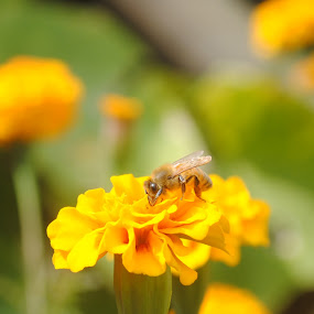 bee on marigold by Pramesh Pokharel - Nature Up Close Flowers - 2011-2013 ( bee, marigold, nice, yellow, flower )