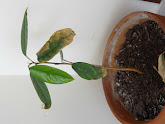 Photo: Week 15 - 23 cm / leaf 8.5 cm