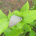 Common Guava Blue Butterfly