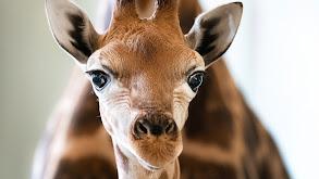 A Baby Giraffe's Tall Order thumbnail