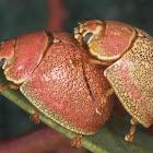 Paropsis roseola