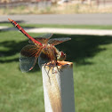 Band-winged meadowhawk ♀